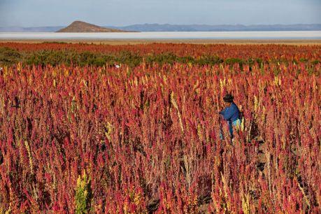 Semilla de Quinua la revolución del grano de oro